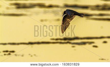 Whiskered Tern in Arugam bay lagoon, Sri Lanka; specie Chlidonias hybrida family of Laridae poster