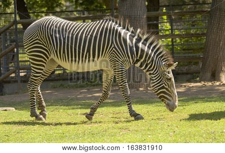 One African zebra standing on grass and eating.