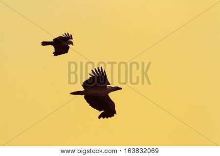 White-bellied sea eagle and brahmins kite ; specie Haliaeetus leucogaster and Haliastur indus family of Accipitridae