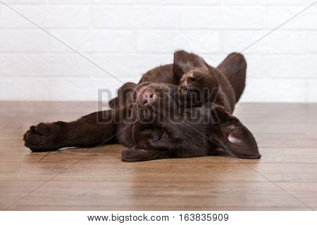 funny labrador puppy sleeping upside down on the floor