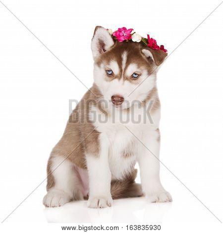 brown siberian husky puppy posing on white