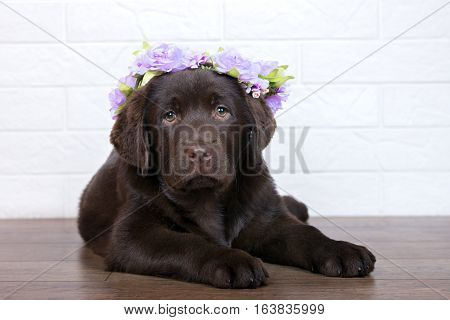 brown labrador puppy in a flower crown posing indoors