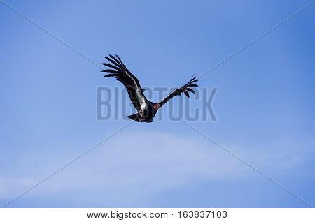 American Condor flying above Route 1 (SR 1) near Big Sur California USA. A rare and endangered species of birds.
