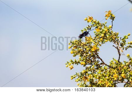 Desert beetle fly with large stinger on Larrea tridentata chaparral tree