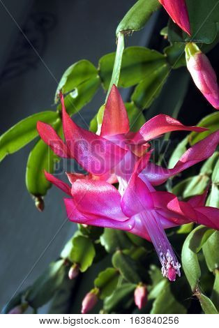 Stamens and Pistil macro photo of a pink Christmas Cactus. Selected focus small depth of field.