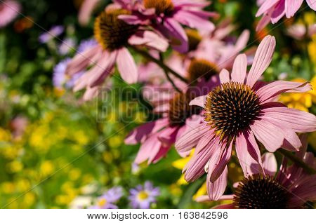 Pink Echinacea flowers with yellow stamens. On a Sunny summer day. Beautiful garden. Selective focus. Place for text.