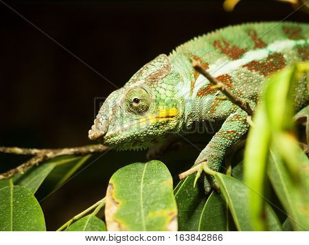 Portrait of adult Cone-head chameleon on the branch with leaves - Chameleo calyptratus