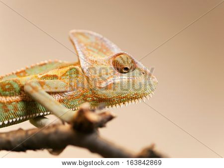 Young Yemen chameleon on the branch looking down - Chameleo calyptratus
