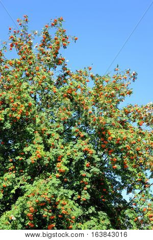 Rowan tree with red berries at summy august day.