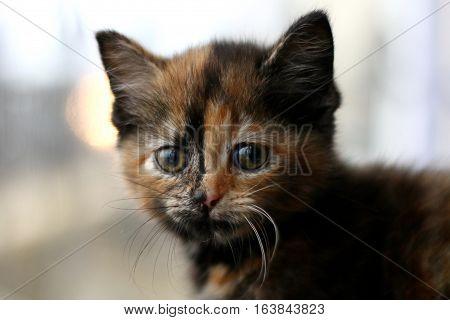 A tortoiseshell kitten in front of a window