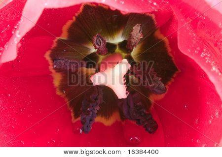 Macro shot of a Red Tulip