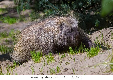 Canadian or North American tree porcupine - Erethizon dorsatum - is on the ground poster