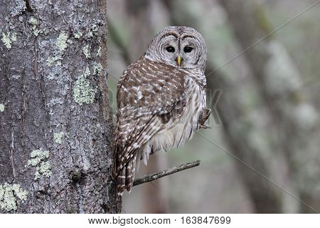 A wild barred owl (Strix varia) perching in the forest.