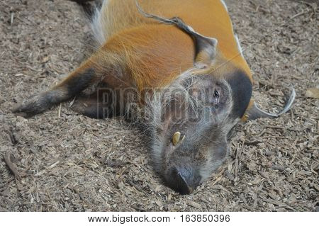 A red river hog laying on the ground