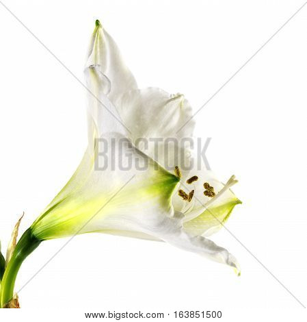 White amaryllis flower (Hippeastrum) close up shot of bloom and stamens isolated on a white background selective focus narrow depth of field