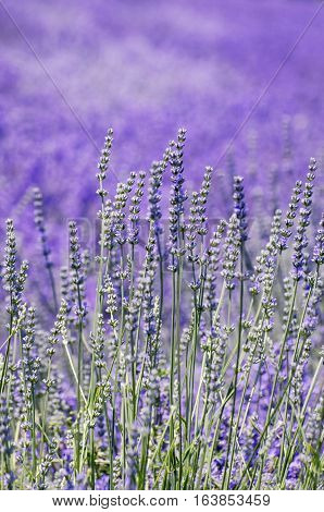 Photo of Lavender Summer Field In Sunny Day