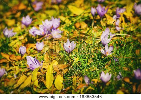 Photo of Crocus Flower Field in Sunny Day