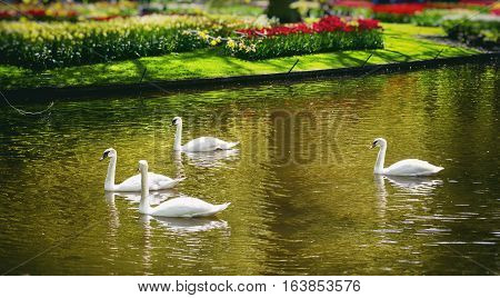 White Swans at River in Tulip Garden