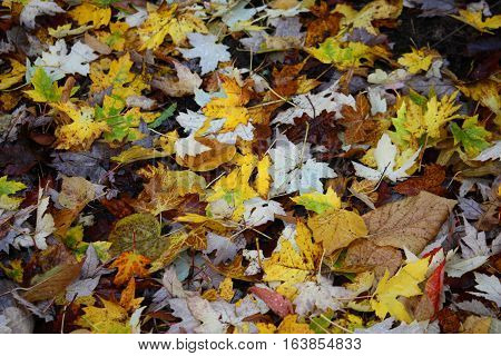 Yellow And White Maple Leaves On The Ground At Batsford Arboretum