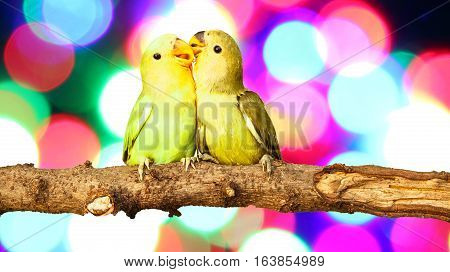 two lovebird on Blurred fairy lights background