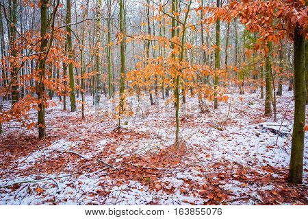 Beech Trees With Red Leaves In Winter Forest Landscape