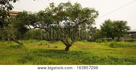 A big tree in the middle of meadow grass photo taken in Semarang Indonesia java