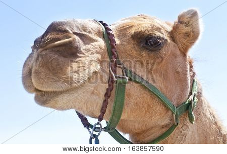 Close up shot of a camel. Shallow depth of field with focus on the camels eye.