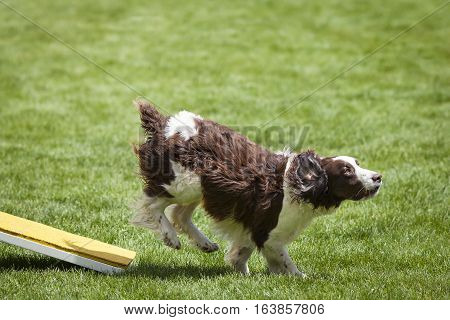 Agility Dog running off of See Saw Teeter plank.