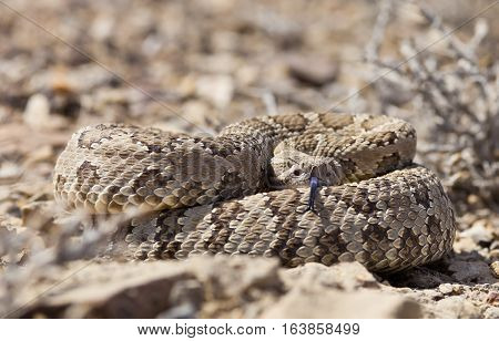 Coiled Rattle Snake With Shallow Depth Of Field. Focus Is On The Snakes Eyes.