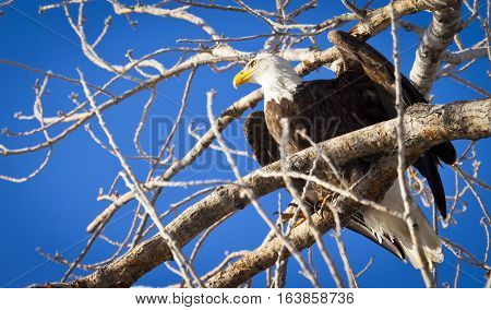 Majestic Bald Eagle Perched In A Tree On A Branch.