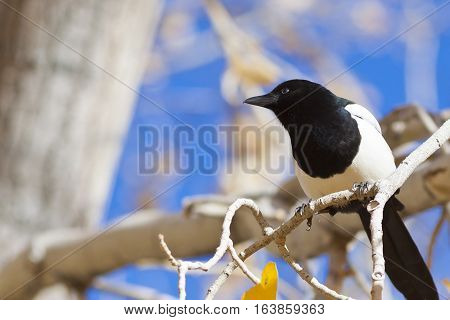 Magpie perched on branch shallow depth of field with focus on eye of bird.