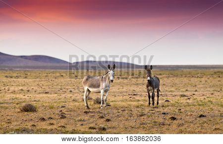 Donkey in the Nevada desert at sunset