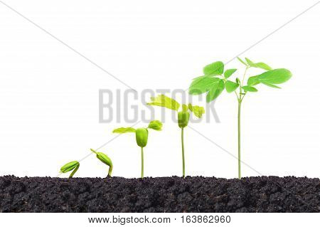 Agriculture. Young baby plants growing in germination sequence on fertile soil with natural green background