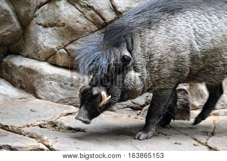 A Visayan Warty Hog standing on a rock