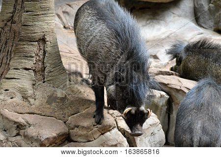 A Visayan Warty Hog standing on a rock