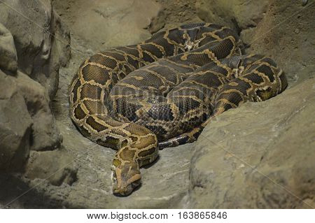 A Burmese python laying on a rock