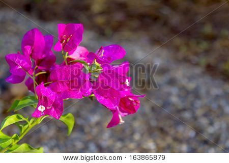 Blur background and Bougainvillea blooming beautiful on green leaf