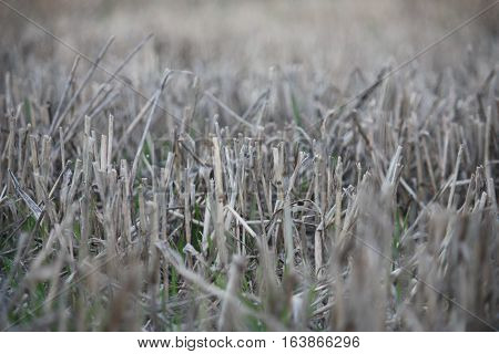 close up of straw in a field after it has been cut