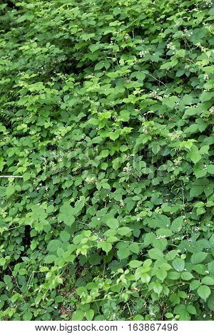 Green folioage growing wild in the hills above the village of Benabbio in Italy