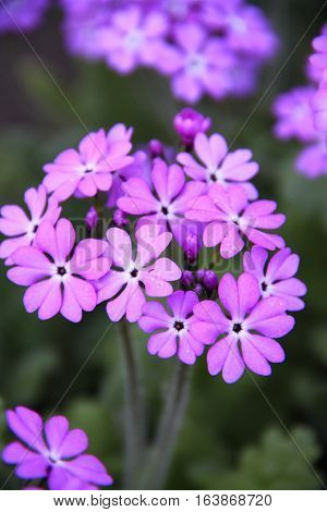 Bouquet of blue primroses small summer closeup