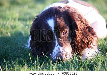 Working Type English Springer Spaniel Pet Gundog Eating Raw Food