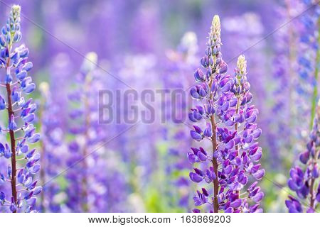 Blooming lupine flowers. A field of lupines. Blue spring and summer flowers. Gentle warm soft colors, blurred background.