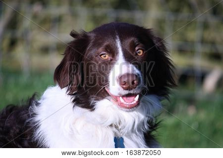 Handsome Springer Collie Cross Pet Dog