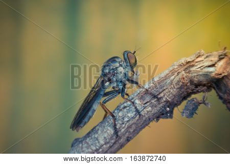 Macro Of Fly (robber Fly, Asilidae, Predator) Insect
