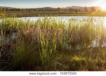 Grass reeds growing on artificial lakeside, bathe in the golden sun light. Water from the lake is used to irrigate the background vineyards.