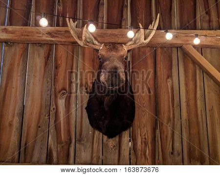 Moose Head Display Hunting Trophy Decoration in Barn