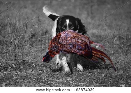 A Working Type English Springer Spaniel Carrying A Pheasant