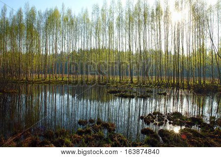 tussock grass on a swamp and a small lake with trees