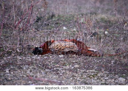 A Dead Pheasant Waiting To Be Collected