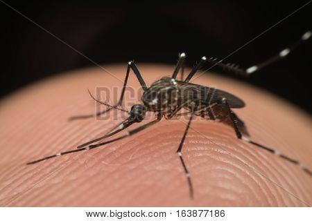 Macro Of Mosquito (aedes Aegypti) Sucking Blood